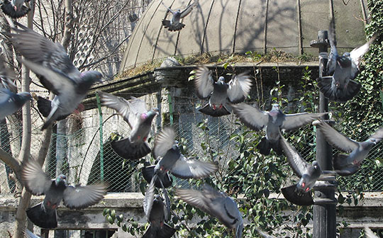 pigeons in a flurry, Istanbul