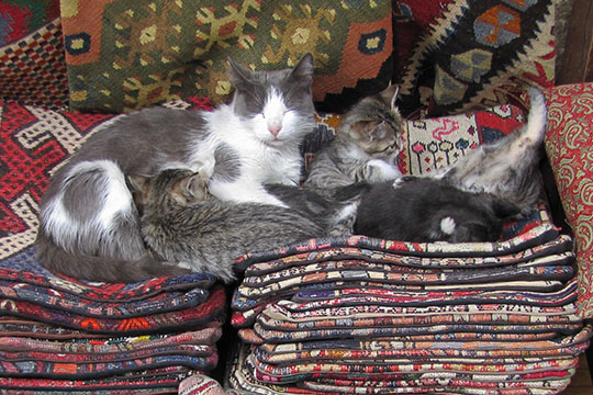 Turkish carpet cats, Istanbul