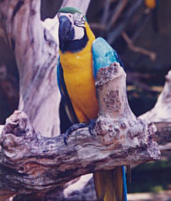 A blue and gold macaw in Taman Burung Bali Bird Park