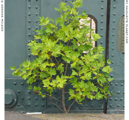 young sycamore tree growing on Hungerford Bridge, London by Gordon Mcleod at the Cheshire Cat Blog