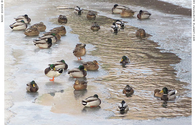 Ducks on the frozen Panke, Berlin by David John at The Cheshire Cat Blog