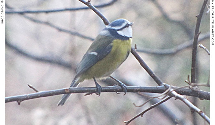 A masked blue tit by David John at The Cheshire Cat Blog