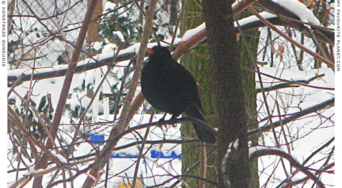 A blackbird in a tree by Konstanze Gundudis, Berlin, Germany at The Cheshire Cat Blog