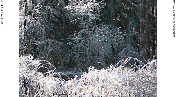Jack Frost decorates the woods, photo by Lesley A. Smith, Massachusetts, USA at The Cheshire Cat Blog
