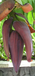 Banana tree, Isla Afortunada at The Cheshire Cat Blog