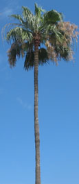 Tall palm tree, Isla Afortunada at The Cheshire Cat Blog