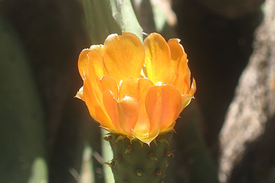 Mountain cactus flower on Isla Afortunada at The Cheshire Cat Blog