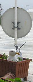 A seagull brooding in a plant tray beneath a TV satellite dish on a Sultanahmet rooftop, Istanbul at The Cheshire Cat Blog