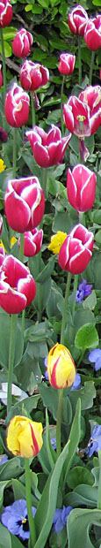 Tulips at the Topkapi Palace, Sultanahmet, Istanbul at The Cheshire Cat Blog