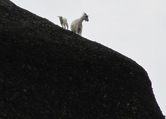 Silvery white goats were peeping from the edge of the rocks of Meteora, Greece at The Cheshire Cat Blog