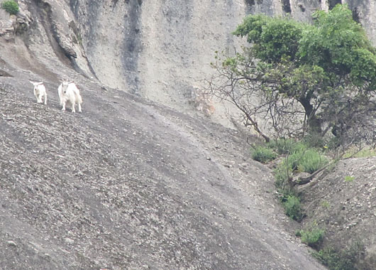 A mother goat and her kid enjoy the view from the top of Ambraria, Meteora, Greece at The Cheshire Cat Blog
