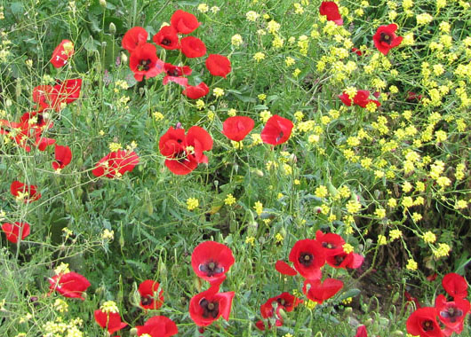Poppies in Meteora, Greece at The Cheshire Cat Blog