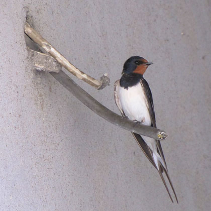 Didymoteicho swallow, Thrace, Greece at The Cheshire Cat Blog