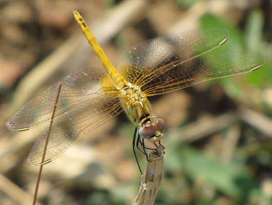 Dragonfly in Didymoteicho, Thrace, Greece at The Cheshire Cat Blog