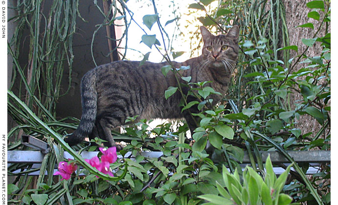 An Athens tiger at The Cheshire Cat Blog