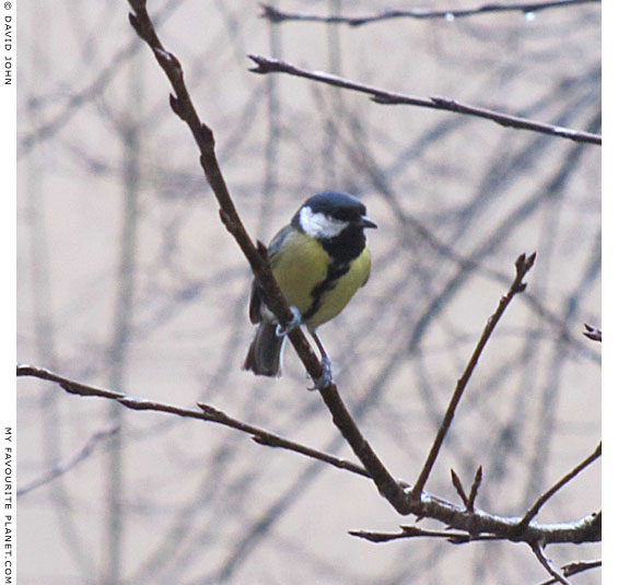 A great tit on a big twig at The Cheshire Cat Blog