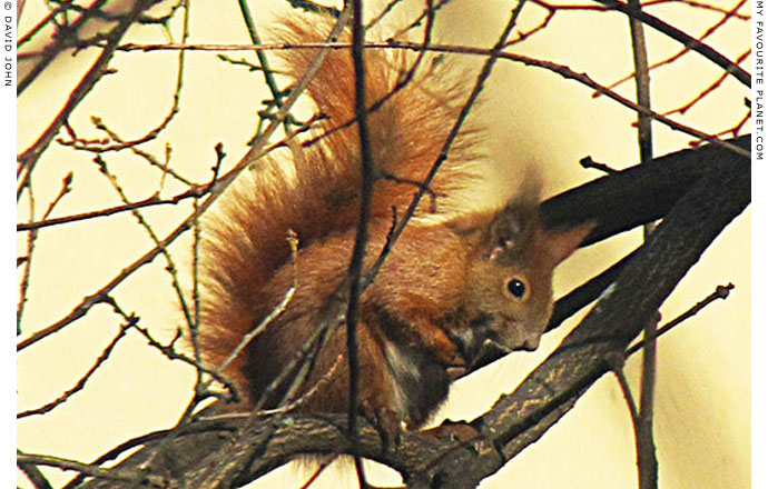Rudy the red squirrel takes a bow at The Cheshire Cat Blog