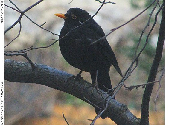 An extremely healthy male blackbird, Turdus merula, at The Cheshire Cat Blog