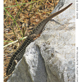 A snake-eyed lizard in Priene, Turkey