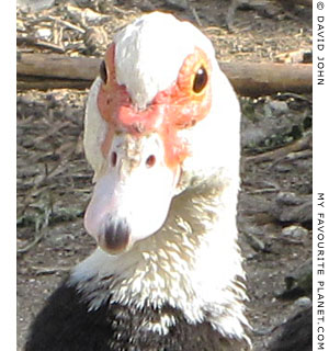 A surprised duck in Pella, Macedonia, Greece at The Cheshire Cat Blog