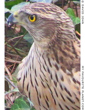 A young male northern goshawk in Berlin at The Cheshire Cat Blog