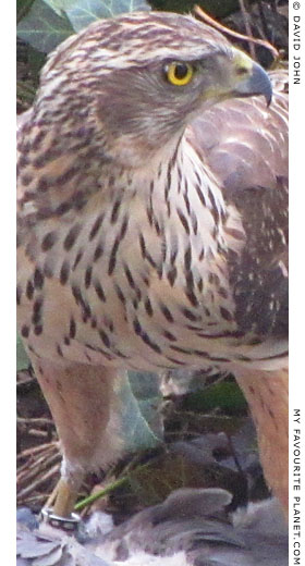 Close-up of a northern goshawk at The Cheshire Cat Blog