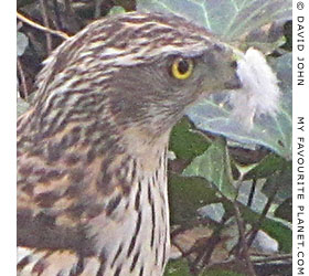 A northern goshawk with a beak full of pigeon feathers at The Cheshire Cat Blog