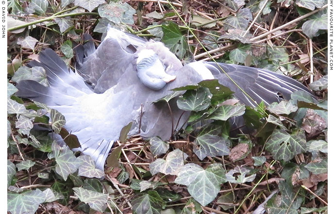 A dead pigeon in a Berlin garden at The Cheshire Cat Blog