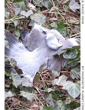 The mysterious case of the dead pigeon at The Cheshire Cat Blog