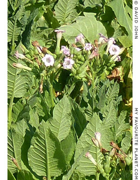 Tobacco plants growing in Dion, Macedonia, Greece at The Cheshire Cat Blog
