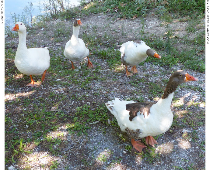 Geese seek lunch in Dion Archaeological Park, Macedonia at The Cheshire Cat Blog