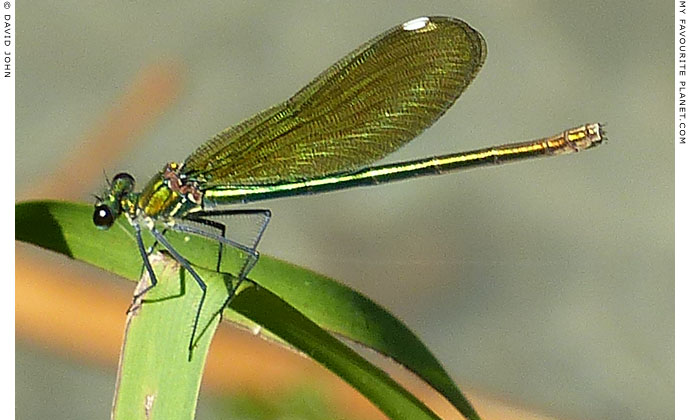 A green dragonfly in Dion Archaeological Park, Macedonia at The Cheshire Cat Blog