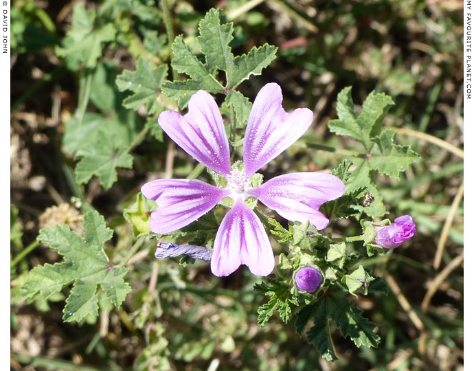Common mallows in Dion Archaeological Park, Macedonia at The Cheshire Cat Blog