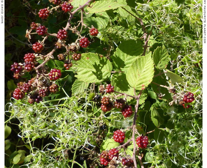 Wild blackberries in Dion Archaeological Park, Macedonia at The Cheshire Cat Blog
