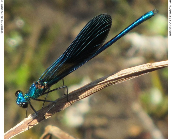 A blue dragonfly in Dion Archaeological Park, Macedonia at The Cheshire Cat Blog