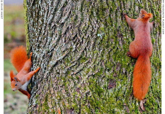 Tree-hugging red squirres in Berlin, Germany at The Cheshire Cat Blog