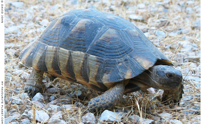 Tortoise in the Agora of Athens, Greece at My Favourite Planet