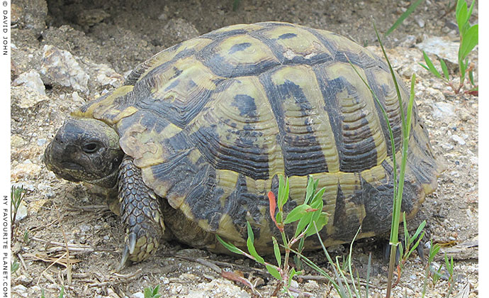A Greek tortoise (Testudo graeca) in Ancient Stageira, Halkidiki, Macedonia, Greece at My Favourite Planet