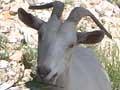 Macedonian goat, Stavros, Macedonia, Greece at My Favourite Planet