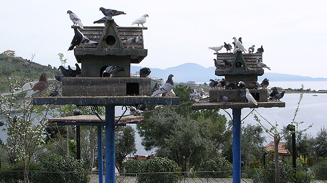 Doves and pigeons on Guvercin Ada (Pigeon Island), Kusadasi, Turkey at My Favourite Planet