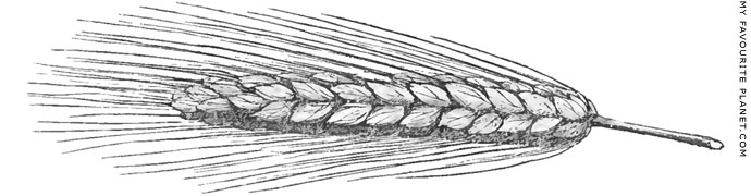 A drawing of an ear of bearded wheat by Charles Fellows at My Favourite Planet