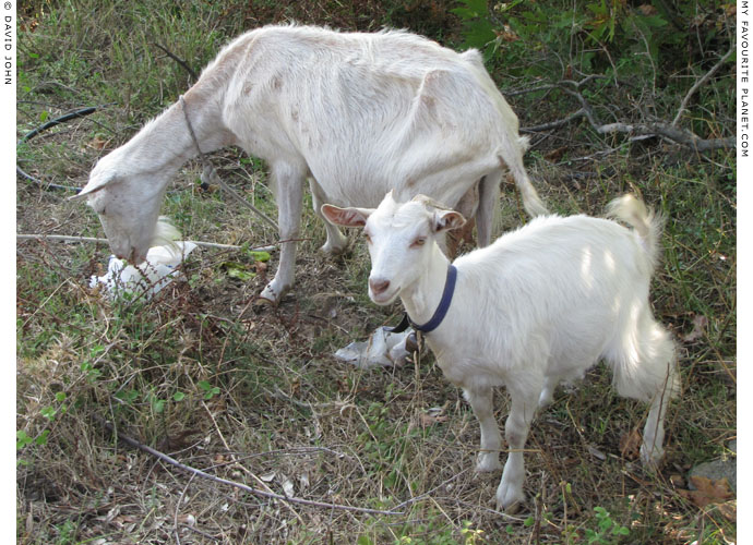 Goats in Thasos at My Favourite Planet